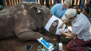 Sydafrikanska veterinärer plåstrar om noshörning som lämnats att dö av tjuvjägare som först huggit av norshörningens horn. Bilden är tagen den 20 augusti 2015 i Bela Bela, norr om Johannesburg.