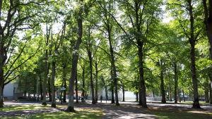Aurinko täplittää Pärnun puistokäytävät