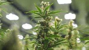 Cannabis planta.