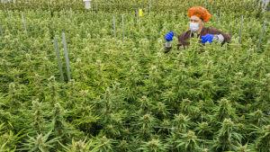 Cannabis odling.