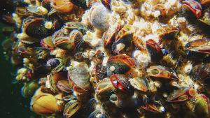 Lähikuvassa simpukoita ja muista merieliöitä kiinnittyneenä vedenalaisen veistoksen pintaan.