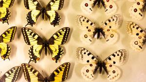 Fjärilar i samling