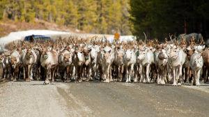 En stor flock renar går på vägen.
