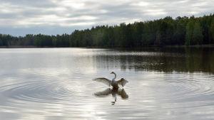 Sångsvan breder ut vingarna på Metviken i Vasa.