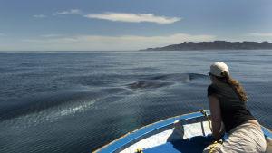 Valastutkija katselee veneen kannelta, kuinka valas ui ohi