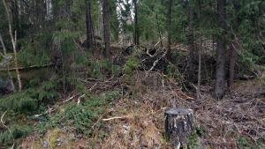 Skogsparti längs Vandrarens lycka i Borgå.