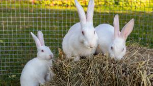 Tre vita kaniner vid en höbal.