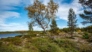 En knotig björk, några tallar och låg vegetation vid en sjö.