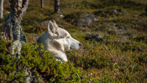 En hund ligger bland ljung och bärris och vilar sig.