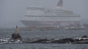 Viking Gabriella anlöper hamnen i Helsingfors i snöyra efter en stormig natt morgonen den 2.1.2019.