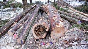 En hög med nedsågade trädstammar ligger på snöbeklädd mark. En av trädstammarna ser ut att vara rutten inuti, eller uppäten av insekter.