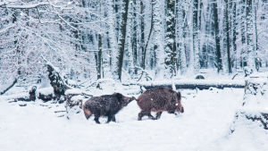 Vildsvin i vintrig skog.