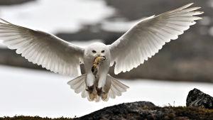 Pohjolan villi luonto esittäytyy kolmiosaisessa dokumenttisarjassa koko komeudessaan.