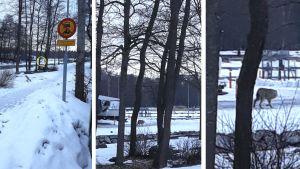 Till vänster en mobilbild på en varg i Kasberget i Helsingfors. Brevid förstoringar på bilden.