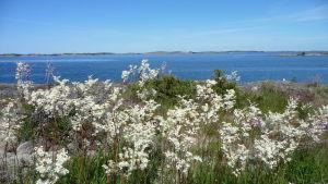 blommor och hav på Aspö