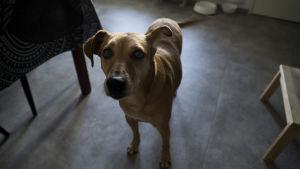 Hunden Lucky står på köksgolvet och tittar in i kameran.