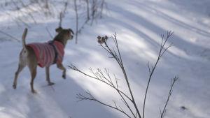 Hunden Lucky går på snön iklädd en tröja.