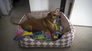Hunden Lucky ligger i sin säng på golvet och viftar på svansen.