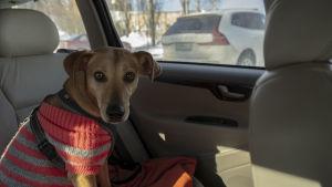 Hunden Lucky sitter i baksätet av en bil och ser in i kameran.
