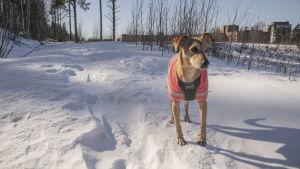 Hunden Lucky står stilla ute i snön iklädd sina vinterkläder.