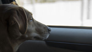 Hunden Lucky tittar ut genom bilfönstret.