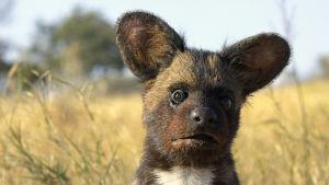 Nallen ja koiran sekoitukselta näyttävä eläin katsoo korvat pystyssä ja säikähtäneen näköisenä kameraan.