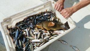 En låda med mycket fisk i en roddbåt.
