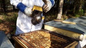 En biodlare arbetar på sin biodling.