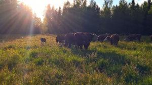 En sommaräng i solnedgången, kor betar på ängen.