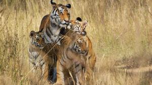 Tiikeripoikue savannilla.