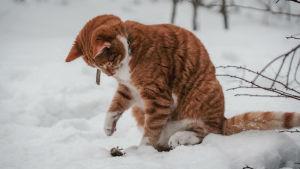 Keltaraitainen kissa istuu hangella ja sohii käpälällään pyydystämäänsä myyrää.