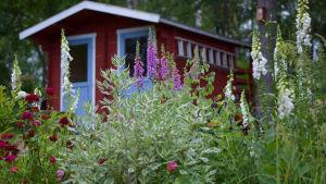 Blommor framför ett rödmålat lider med blå dörrar. Sommar