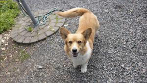 En hund (welsh corgi)  på en grusgång.