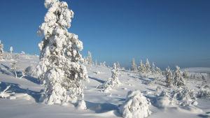 Tykkylumisia puita Urho Kekkosen kansallispuistossa.