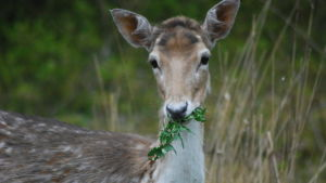 Vitsvanshjort med grönt i munnen