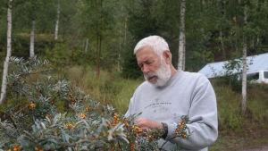 En man i grått hår plockar havtorn ur en buske.