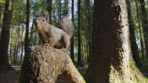Oravat ovat yksi maailman tunnetuimmista nisäkkäistä.