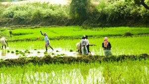 Risodling i Indien.