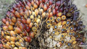Ett knippe med skördad palmfrukt från Indonesien.