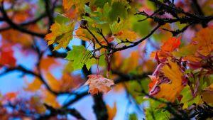 Färgglada lönnlöv på hösten