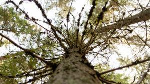 Runsaasti kuusen oksia puun rungolla.