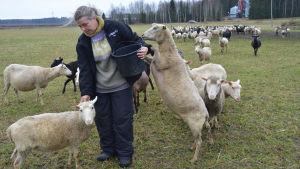 Kuvassa nainen ruokkii lampaita laitumella