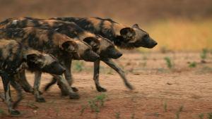Luontosarjassa seurataan viiden eläimen laumaelämää.