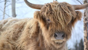Highland cattle kvigan Binja.