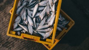 Fiskfångst i gula lådor
