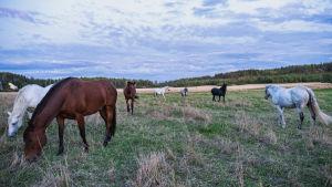 Erivärisiä hevosia suurella laitumella, osa lähempänä, osa kauempana.