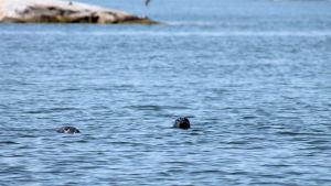 Två sälhuvuden guppar i havet.