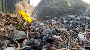 Blommande tussilago på Utö i januari 2020.
