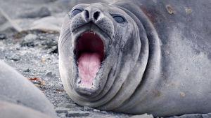 Merileijona suu auki
