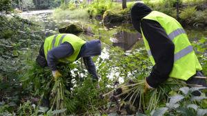 Två män river växter vid vattendrag.